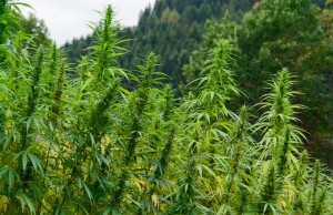 Marijuana-Stocks-hemp-3
