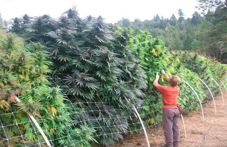 Marijuana-Stocks-bush