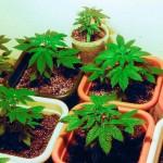 marijuana-stocks-cannabis-Plant