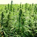Marijuana-Stocks-Cannabis-Hemp