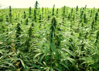 Marijuana-Stocks-Cannabis-Hemp