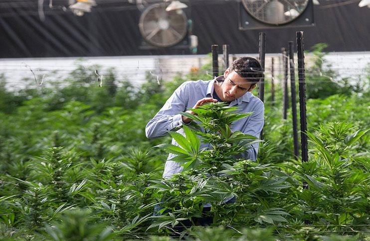 marijuana-stocks-cannabis-weed1