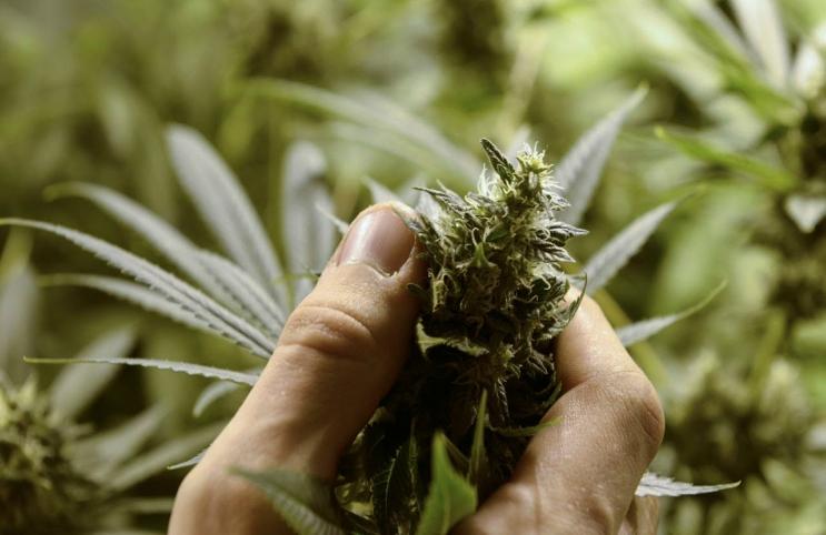 Marijuana Nug