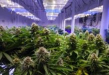 marijuana stocks grow room