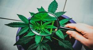marijuana stock grower